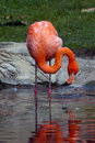 Pink flamingo reflection Stock Photo