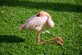 Pink flamingo sleeping green grass Stock Photography