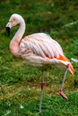 Pink flamingo sleeping with leg up wildlife photography of a Stock Image