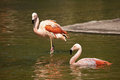 Pink flamingo sort phoenicopterus ruber roseus Royalty Free Stock Photos