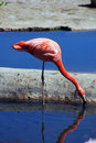 Pink flamingo standing drinking water Stock Image