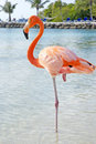 Pink flamingo standing in one leg Stock Photos