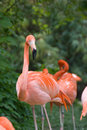 Pink flamingo - Vienna zoo Royalty Free Stock Image