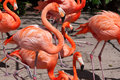 Pink flamingo in zoo group of flamingos mingling at the Royalty Free Stock Photo