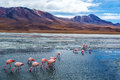 Pink flamingoes in bolivia lake hedionda the high plains of with andean mountains the background Stock Images