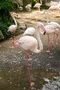 Pink flamingoes walking at zoopark Royalty Free Stock Photo