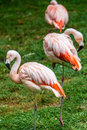 Pink flamingos a group of relaxing Stock Image