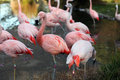 Pink flamingos matriculate near a pool of water Stock Image