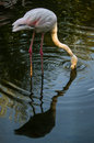 Pink flamingos in the russian park flamingo lat phoenicopterus mouth crimson is a genus of birds family of Stock Photos