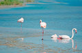 Pink flamingos in Sardinia Royalty Free Stock Photo