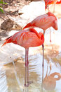 Pink flamingos in wildlife park Stock Photos