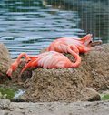 Pink flamingos at the zoo Royalty Free Stock Photo