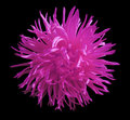 Pink flower Aster, black  isolated background with clipping path.. Closeup. Royalty Free Stock Photo