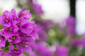 Pink flower background with selective focus. Purple Bougainvillea's flora. Royalty Free Stock Photo