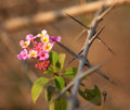 Pink flower on the barbed wire closeup Stock Images
