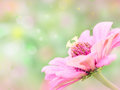 Pink flower on blur backgrou Royalty Free Stock Image
