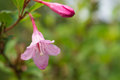 Pink flower and bud after a rain close up Royalty Free Stock Image
