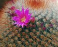 Pink flower on cactus plant Stock Images