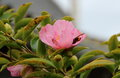 Pink flower of camellia with wasp Royalty Free Stock Photo