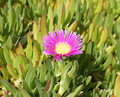Pink flower of carpobrotus modestus beautiful blossom Royalty Free Stock Photo