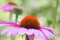 Pink flower close up; coneflower in meadow Royalty Free Stock Photo