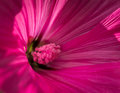 Pink flower, close-up macro Royalty Free Stock Photo