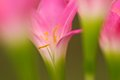 Pink flower closeup shot a Royalty Free Stock Images