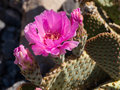 Pink flower in the desert blooms small insects crawling it Royalty Free Stock Photography