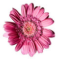 Pink flower gerbera Stock Image