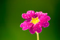 Pink flower on green nature background with yellow center Stock Photo