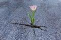 Pink flower growing on crack asphalt road