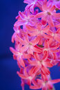 Pink flower hyacinth in blossom on blue background for easter Stock Image