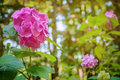 Pink flower of hydrangea (hortensia) in the arboretum in Sochi Royalty Free Stock Photo
