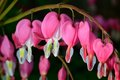 Pink flower lamprocapnos dicentra bleeding heart spectabilis formerly spectabilis in spring garden Royalty Free Stock Photography