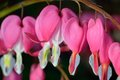Pink flower lamprocapnos dicentra bleeding heart spectabilis formerly spectabilis in spring garden Stock Photos