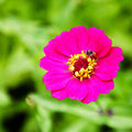 A pink flower little bee on top on green background Stock Photo