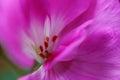 Pink flower macro Royalty Free Stock Photo
