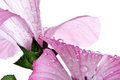 Pink flower macro water drops of a with visible placed against a white background Stock Photo