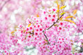 Pink flower sakura of thailand prunus cerasoides with sunlight and blur background Royalty Free Stock Photos