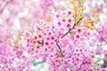 Pink flower sakura of thailand prunus cerasoides with sunlight and blur background Royalty Free Stock Photos