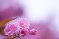 Pink flower spring flowering cherry Stock Photo