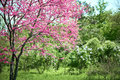 Pink flower on tree branches blossoms in a garden, beautiful spring landscape at bright day Royalty Free Stock Photo