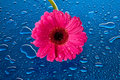 Pink flower on wet, blue surface Stock Image