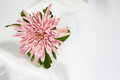 Pink flower on white background Stock Photo