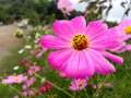 Pink flower with yellow center flowers blossoming in the rainy season of thailand Stock Photos