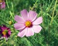 Pink flower with yellow center on grass background Royalty Free Stock Photography