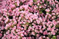 Pink flowerbed in sydney australia Stock Image
