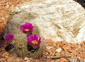 Pink flowered hedgehog cactus blooms in the garden next to the large white rock Stock Photography