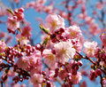 Pink flowering cherry tree Royalty Free Stock Photography