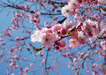 Pink flowering cherry tree Royalty Free Stock Images